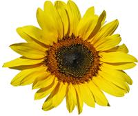 Sonnenblume-transparent